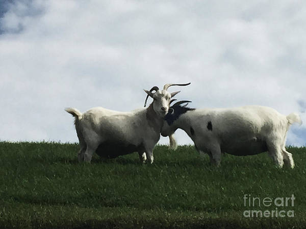 Wall Art - Photograph - Art Goats I by Margie Hurwich