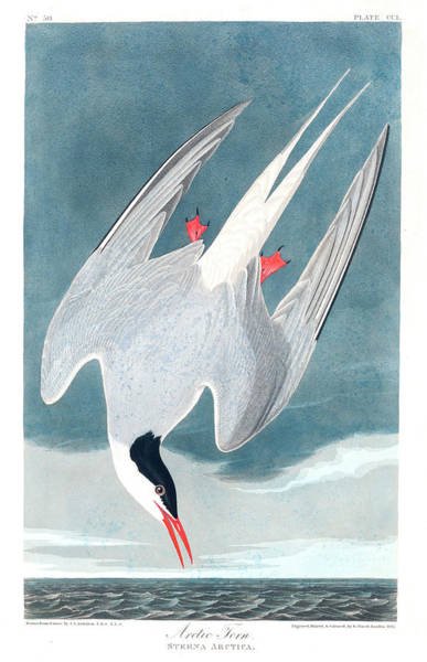 Wall Art - Painting - Artic Tern by John James Audubon