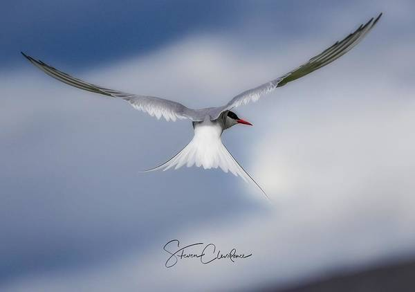 Wall Art - Photograph - Artic Tern by Steven Clevidence