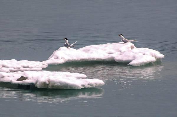 Arctic Terns On A Bergy Bit Art Print
