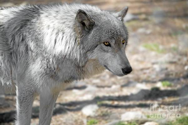 Timberwolves Photograph - Artic Wolf by Anthony Sacco