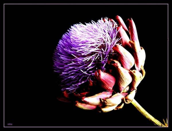 Photograph - Artichoke Abloom by VIVA Anderson