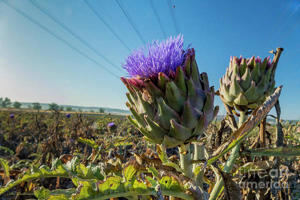 Photograph - Artichoke by Arik Baltinester