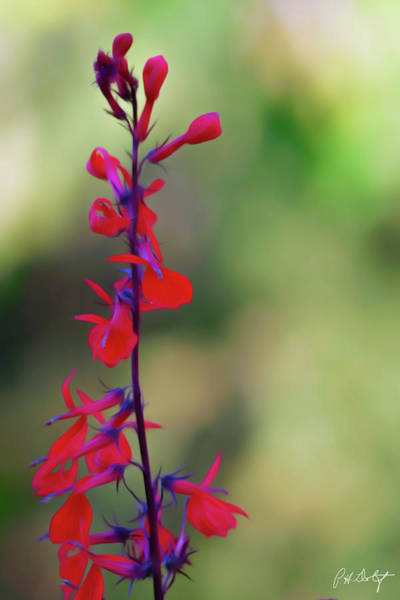 Appeal Digital Art - Artistic Cardinal Flower by Phill Doherty