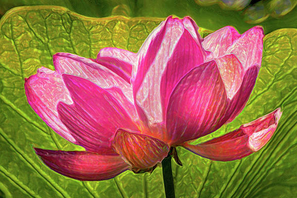 Photograph - Artistic Pink Lotus Flower by Don Johnson