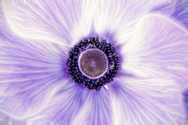 Don Johnson Photograph - Artistic Poppy Anemone by Don Johnson