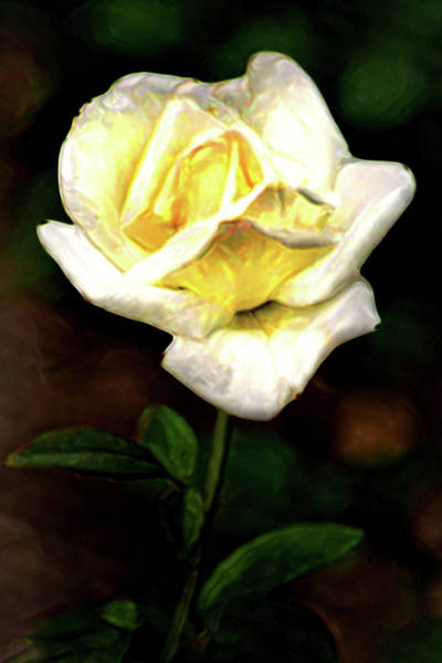 Photograph - Artistic Rose-white by Don Johnson