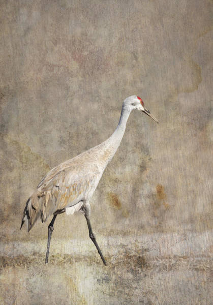 Photograph - Artistic Sandhill Crane 2014-1 by Thomas Young