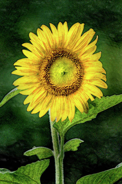 Photograph - Artistic Sunflower In Bloom by Don Johnson
