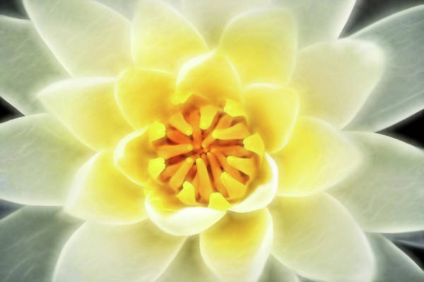 Photograph - Artistic White-yellow Water Lily by Don Johnson