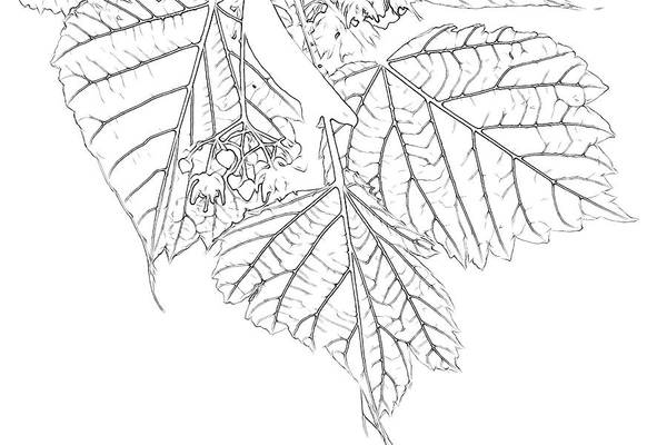 Sketch Holiday Photograph - Artsy Basswood Leaves by Sandra Foster