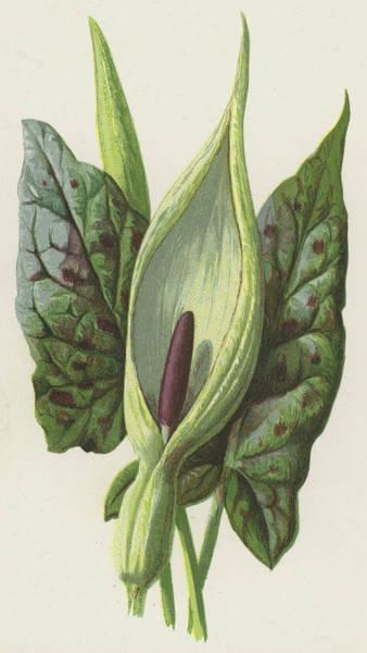 Cuckoo Drawing - Arum, Cuckoo Pint by Frederick Edward Hulme