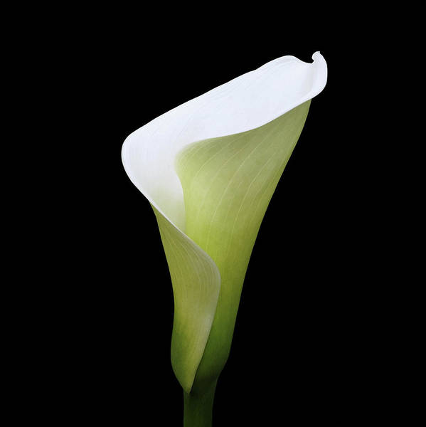 Digital Art - Arum Lily by Julian Perry