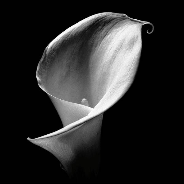 Arum Lily Art Print