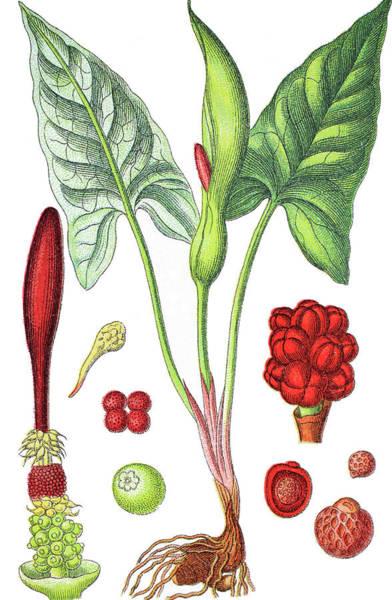 Cuckoo Drawing - Arum Maculatum, Snakeshead, Adder's Root, Arum, Wild Arum, Arum  by Bildagentur-online