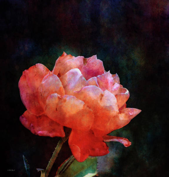 Photograph - As Glowing As A Rose 2298 Idp_2 by Steven Ward