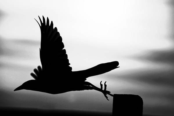 Photograph - As The Crow Flies by Robert Och