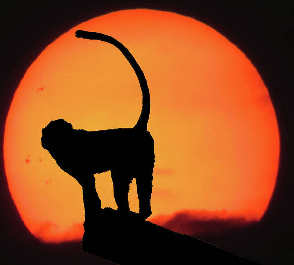 Monkey Wall Art - Photograph - As The Day Ends by Martin Newman