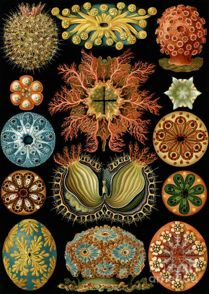 Zoology Wall Art - Painting - Ascidiae by Ernst Haeckel