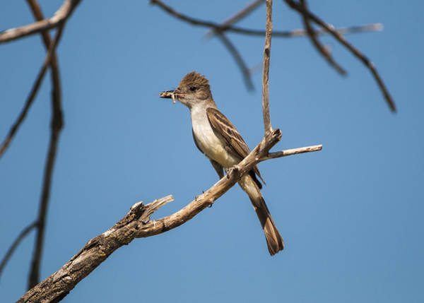 Photograph - Ash-throated Flycatcher by Robert Potts