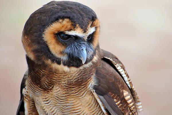 Wall Art - Photograph - Asian Brown Wood Owl by Alan Lenk