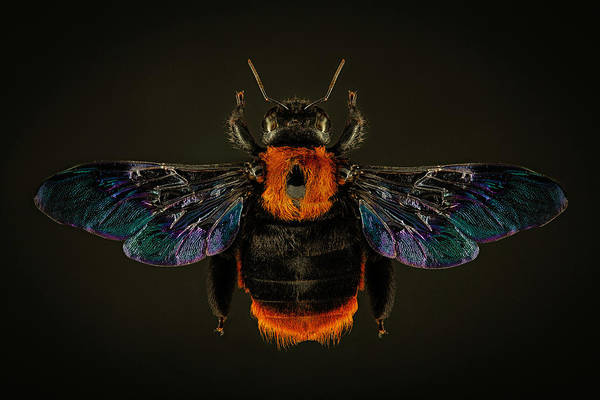 Photograph - Asian Carpenter Bee by Gary Shepard