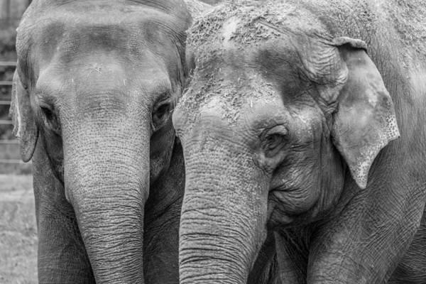 Photograph - Asian Elephant Pair by SR Green