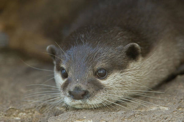 Aonyx Cinerea Photograph - Asian Small-clawed Otters Aonyx Cinerea by Joel Sartore