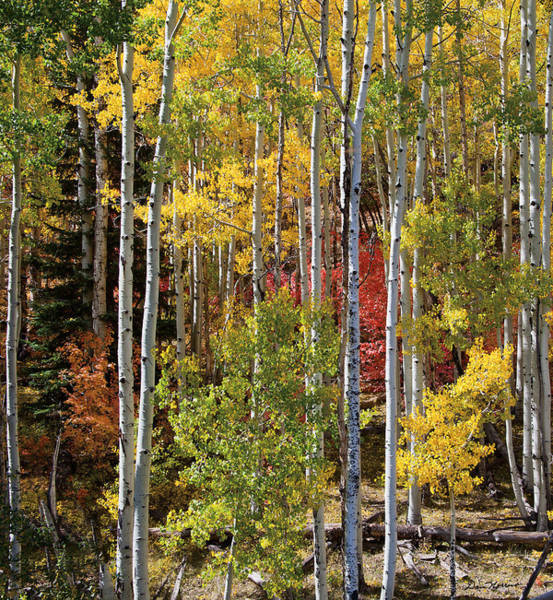 Moab Photograph - Aspen And Red Maple by Dan Norris
