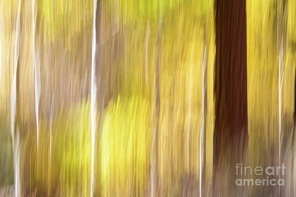 Photograph - Aspen Blur #1 by Vincent Bonafede