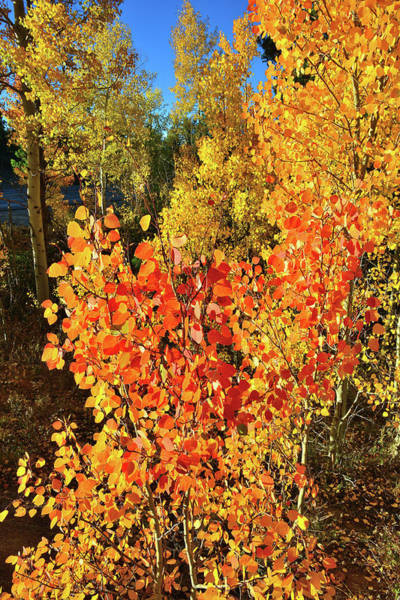 Photograph - Aspen Colors In Dillon Colorado by Ray Mathis
