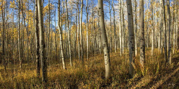 Photograph - Aspen Forest by Aaron Spong