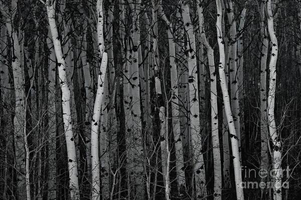 Photograph - Aspen Forest by Brad Allen Fine Art