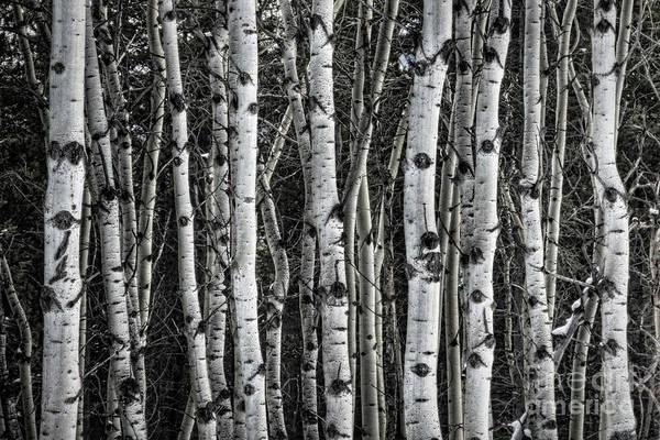 Photograph - Aspen Forest II by Brad Allen Fine Art