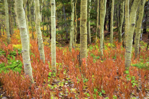 Photograph - Aspen Forest Red Floor Rembrandt Style by James BO Insogna
