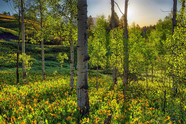 Photograph - Aspen Forest Spring Sunrise by Leland D Howard