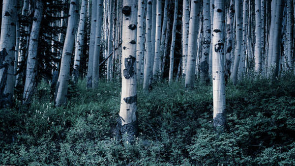 Photograph - Aspen Forest Trees II by John De Bord