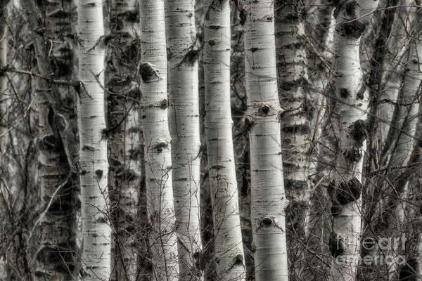 Photograph - Aspen Forest V by Brad Allen Fine Art