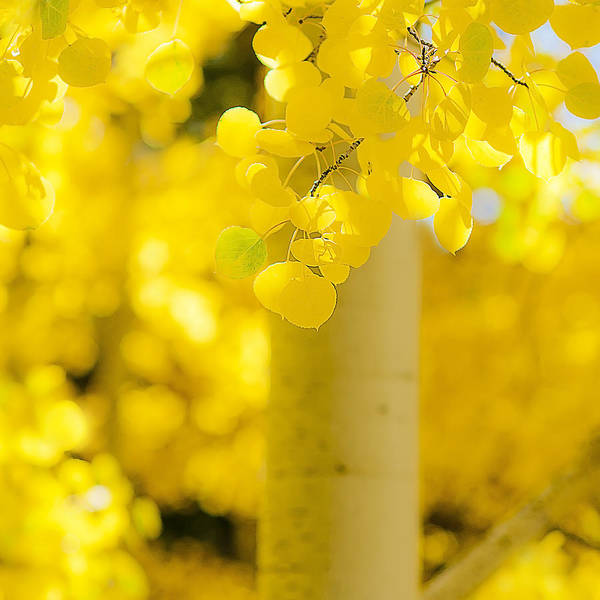 Sparkle Wall Art - Photograph - Aspen Glow by Beth Riser