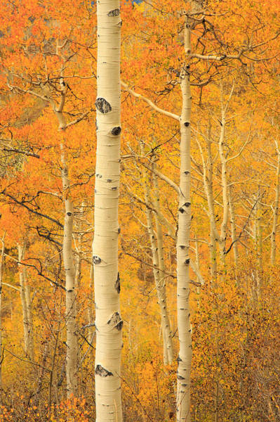 Photograph - Aspen Gold by Johnny Adolphson