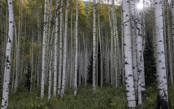 Wall Art - Photograph - Colorado Aspens by T-S Fine Art Landscape Photography