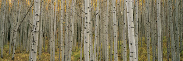 Horizontally Photograph - Aspen Grove In Fall, Kebler Pass by Ron Watts