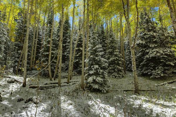 Photograph - Aspen Grove by OLena Art Brand