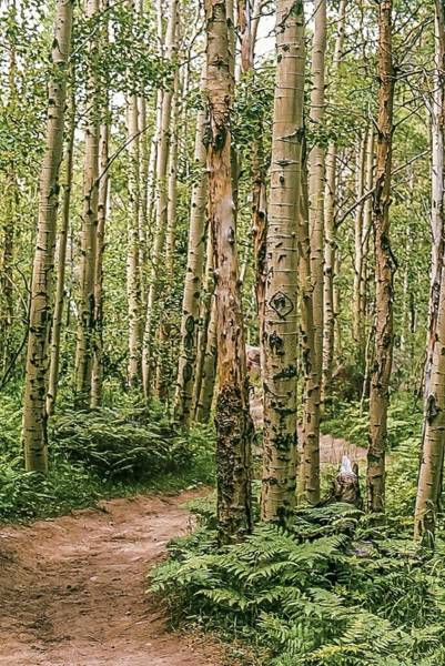 Photograph - Aspen Grove Rocky Mountain National Park by NaturesPix