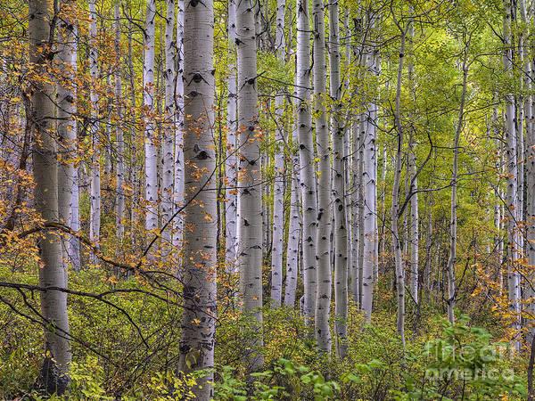 Photograph - Aspen Grove by Spencer Baugh