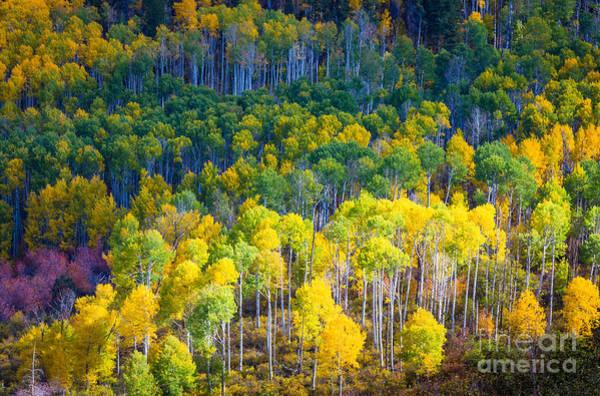 San Juan Mountains Photograph - Aspen Hillside by Inge Johnsson