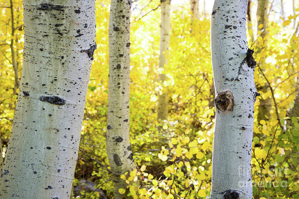 Photograph - Aspen Light by Anthony Bonafede