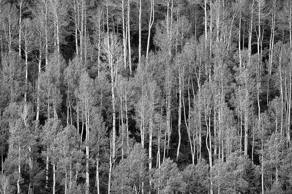 Photograph - Aspen Pattern by Denise Bush