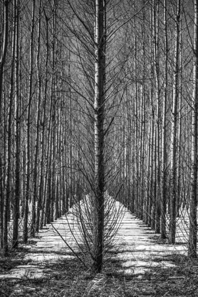 Wall Art - Photograph - Aspen Rows by Paul Freidlund