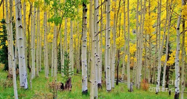 Aspen Forest Photograph - Aspen Slope by Ellen Heaverlo